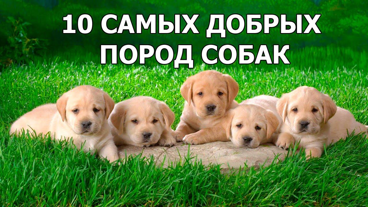 10 самых добрых пород собак в мире 10 фото