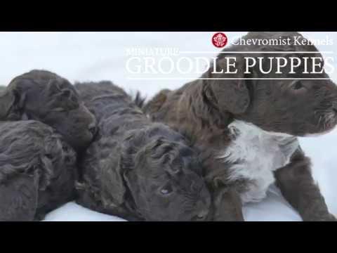 Very Cute MINI GROODLE pups!
