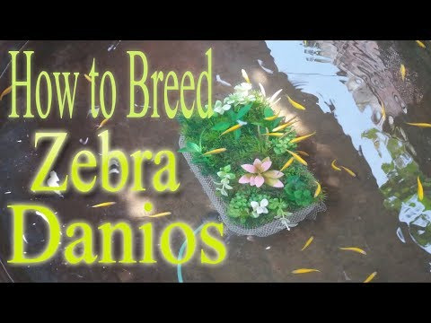 How To Breed Zebra Fish