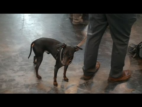 Manchester Terrier in Crufts 2017