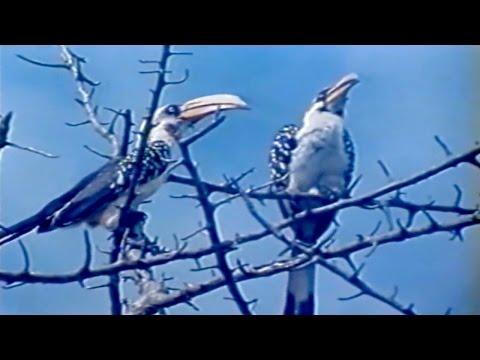 Žutokljuni kljunorožac (Opstanak, Anglia)