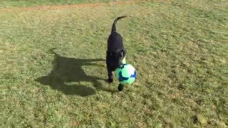Soccer Training Black Labrador retriever puppy Sir Winchester Beauregard III at 13 weeks old