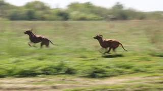 Родезийские риджбеки Орси,  Боня. 9 мая