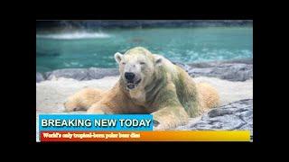 Breaking News - World's only tropical-born polar bear dies