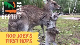 Kangaroo joey takes first hops thumbnail