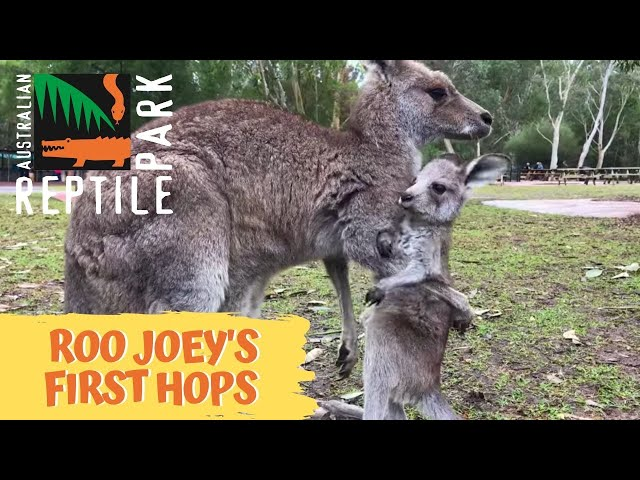 Kangaroo joey takes first hops