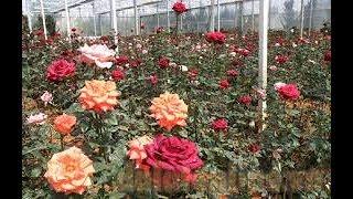 chiêm ngưỡng hàng nghìn cây hoa hồng đầy màu sắc tại vườn hoa Đà Lạt