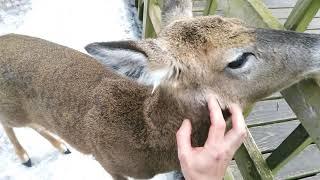 Wildlife deers