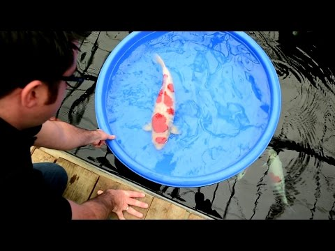 Modern Koi Blog #1267 - Live from Japan: Bei Oyama im Jumbo Glashaus