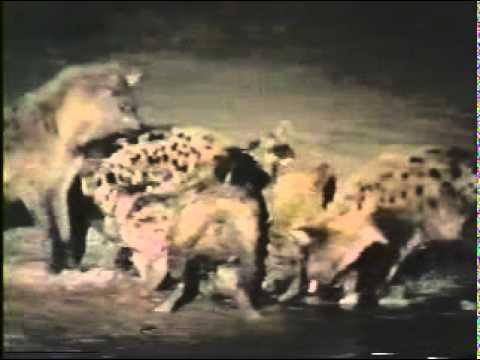 Film 3 Cạnh tranh cùng loài của linh cẩu
