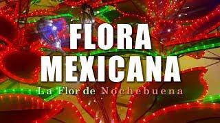 La Flor De Nochebuena | La Flora De México