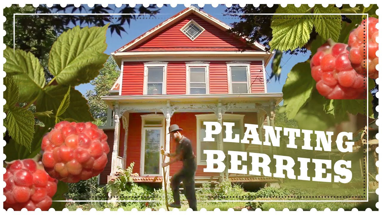 Planting Kiwi and Thornless Raspberry -  The Benefits of Perennial Berries