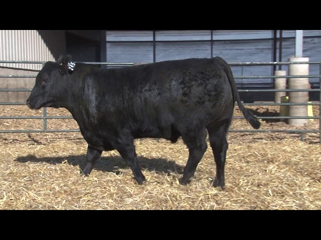 Schiefelbein Angus Farms Lot 245