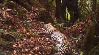Rilis foto foto terbaru memberikan harapan bagi habitat macan tutul Jawa yang langka   Kabar Hutan,