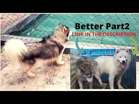 How to Breed Dogs with A Dog Shooter | Dog Assist | Dog Mating Assist | Miggy San's Huskies