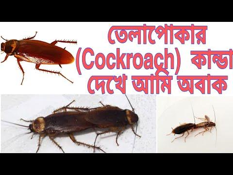 Cucaracha Sex Video
