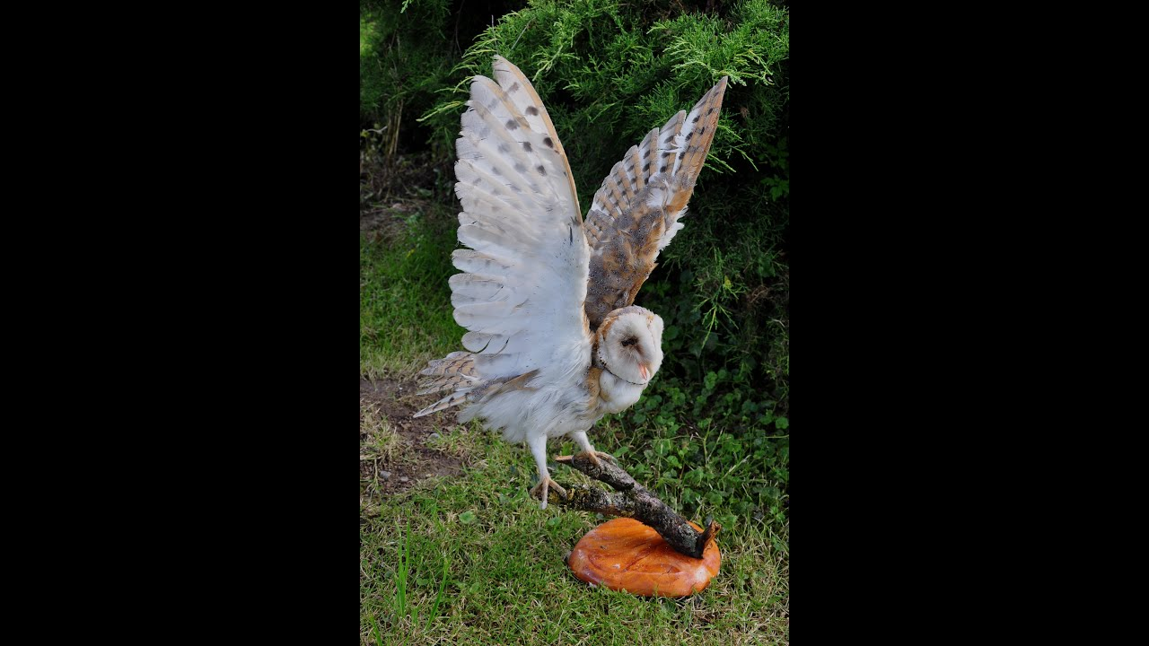 Mounting a barn owl taxidermy youtube mounting a barn owl taxidermy solutioingenieria Image collections