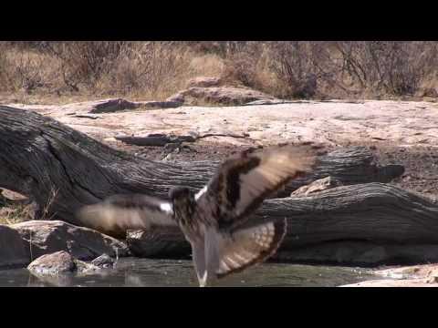 African Hawk Eagle