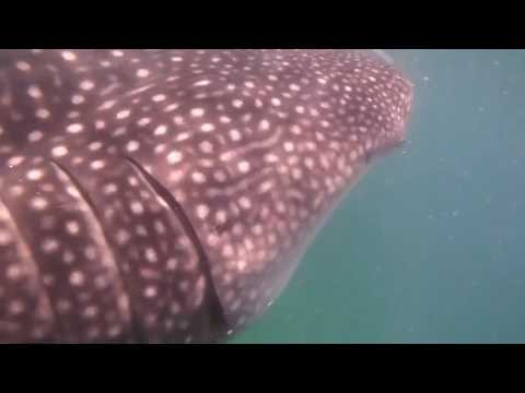 Swimming with Whale Shark - Mozambique is the best place!