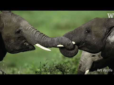 UW biologist Sam Wasser on tracking illegal ivory through DNA