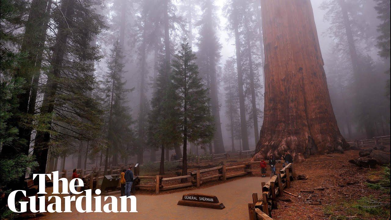 Wildfires in California threaten world's biggest tree