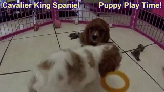 Cavalier King Charles Spaniel, Puppies For Sale, In Atlanta, Georgia, Ga, 19breeders, Savannah