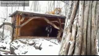 Тигр Амур и козел Тимур(Тигры Сафари-парка два раза в неделю едят живую добычу. Тигр Амур умеет охотится на коз и кроликов. Но недав..., 2015-11-27T04:30:29.000Z)
