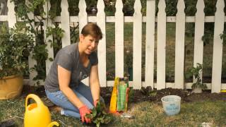 How to Plant Red Rosie Romaine Lettuce : Garden Space
