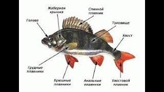 Опорно - двигательная система рыб. Биология 7 класс