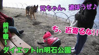 フレブル子犬タプさん生後295日目♪ 最近、太り気味のタプさんを運動させ...