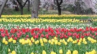 山形県鶴岡市の「いこいの村庄内」のチューリップ畑です。 色鮮やかなチュ...