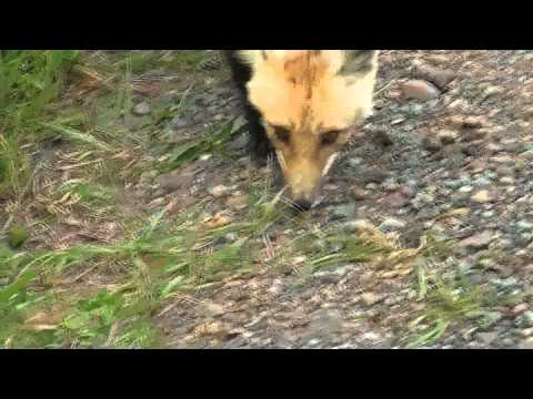 Red Fox close encounter: Prince Edward Island Canada Cable Head East