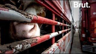 Le calvaire des animaux de ferme exportés