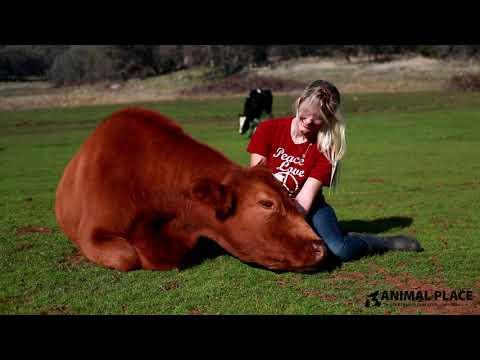 Craig Stevens - Cow Cuddling Is The New Wellness Trend