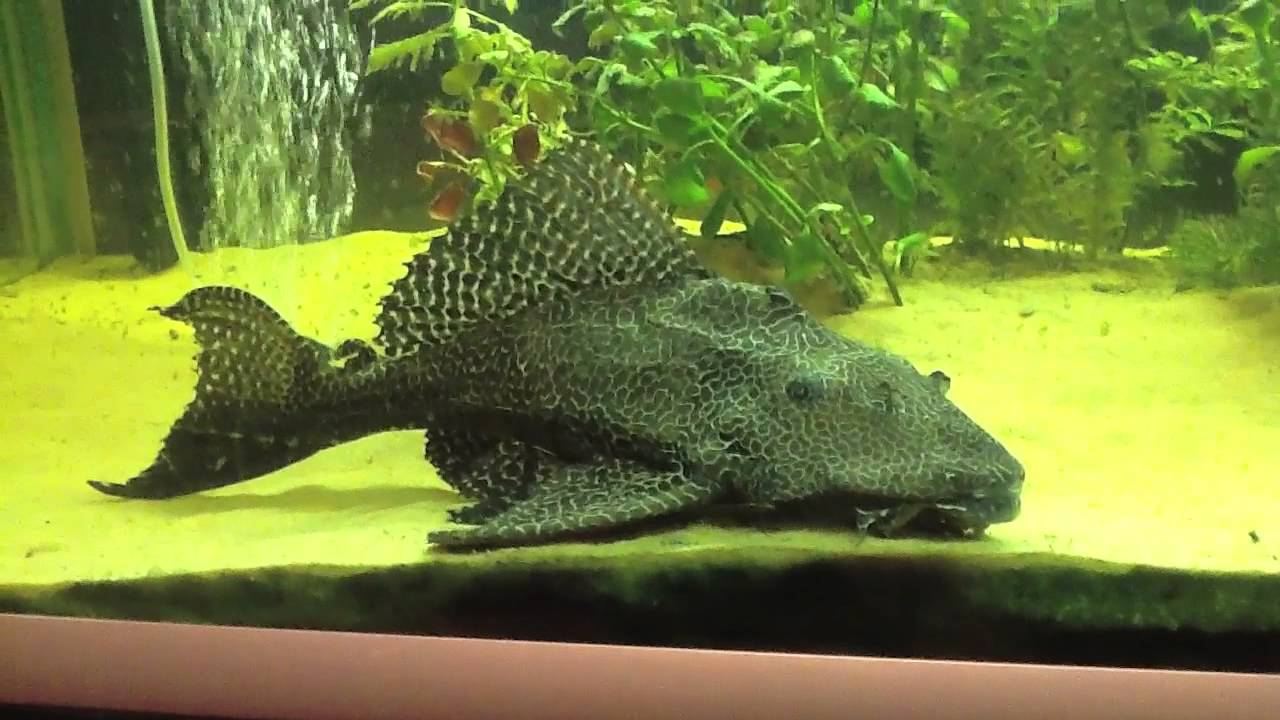Amazing Close Up Of Our Beautiful Giant Pleco Youtube