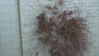 Daddy Long legs Spiders - Daddy Long Legs colony - CREEEEEEEPY