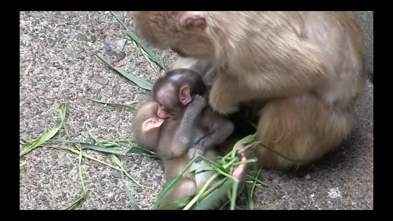 angry mom bullied the baby monkey newborn youtube