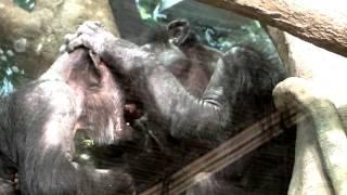 Chimpanzees kiss.チンパンジーのキス。 ZOORASIA YOKOHAMA ZOOLOGICAL ...