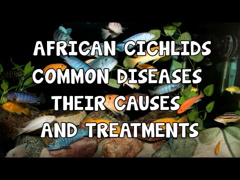 AFRICAN CICHLIDS│COMMON DISEASES│CAUSES & TREATMENTS