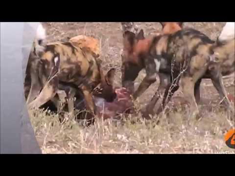 Wild Dogs v Impala   Impala Fights Back as Guts Fall Outv