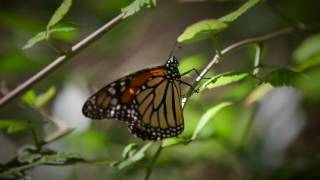 5 monarch butterfly life cycle collection 2017