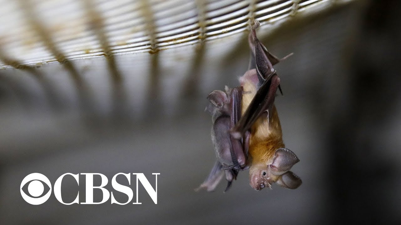 Trump administration terminates funding of coronavirus bat research in China