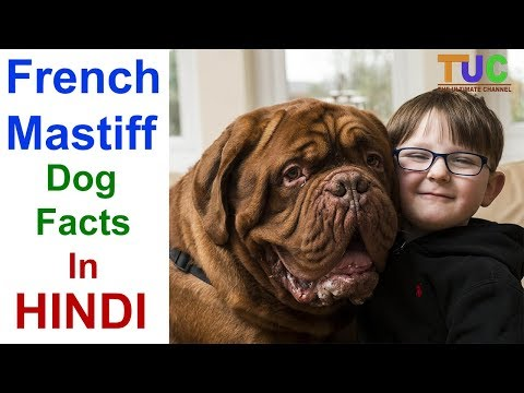 French Mastiff Dog Facts In Hindi - Popular Dogs - Dogs And Facts - The Ultimate Channel