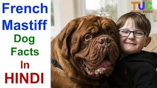 French Mastiff Dog Facts In Hindi  Popular Dogs  Dogs And Facts  The Ultimate Channel
