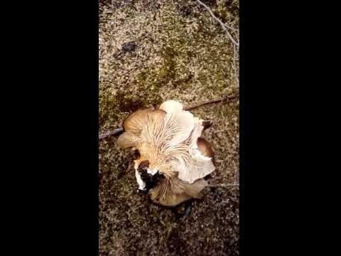 где купить грибы вешенка в воронеже