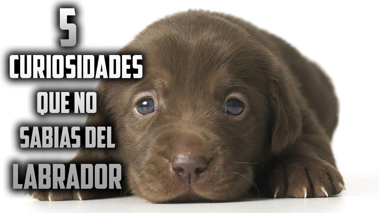 Top 5 Curiosidades Que No Sabias Del Perro Labrador