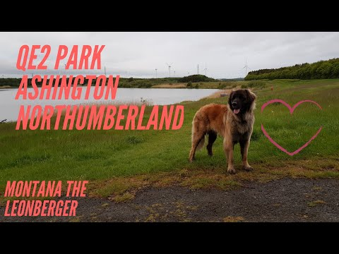 My leonberger dog , Northumberland qe2 walk #leonberger #animals #dog #walks