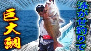 生きたイカを泳がせて巨大な鯛を釣る!!