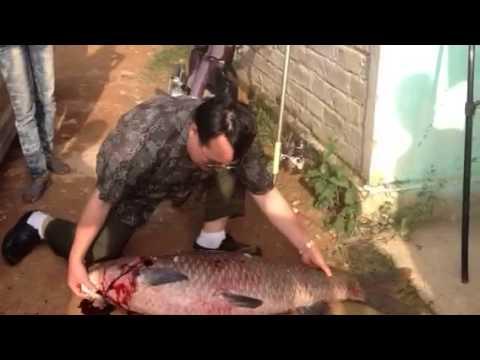 Cá trắm đen khủng 29,5k hồ Yên Thế-Bắc Giang