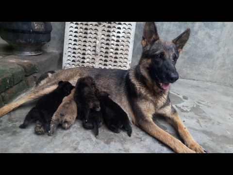 Sable colour working line German shepherd puppies